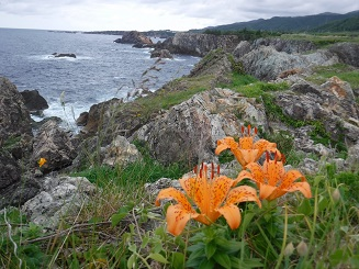 海岸沿いにはいわゆりがいたるところに咲いていた